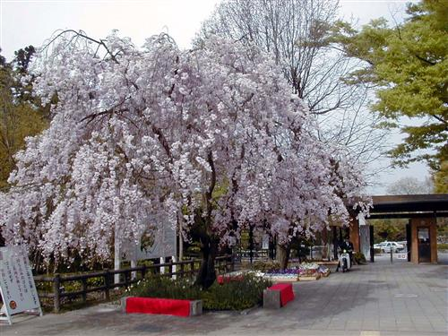 Higashiyama Botanical Garden  cherry City of Nagoya