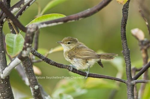 Seychelles Warbler (Acrocephalus sechellensis) Nature Seychelles/Peter Chadwick