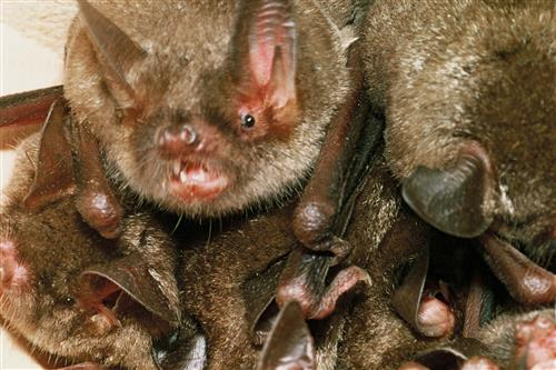 Short-tailed bat cluster ©Ministry for the Environment New Zealand