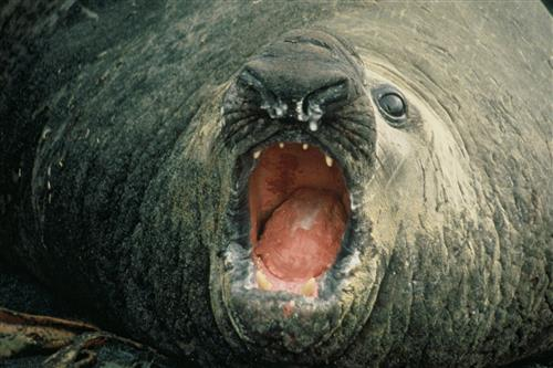 Elephant Seal ©Ministry for the Environment New Zealand/C. J. R. Robertson