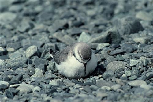 Wrybill on nest ©Ministry for the Environment New Zealand/Rod Morris