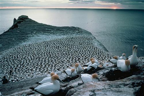 Australasian gannet colony ©Ministry for the Environment New Zealand/Rod Morris