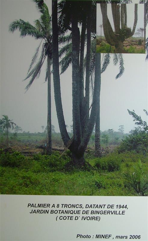 Palm tree poster from Cote d'Ivoire